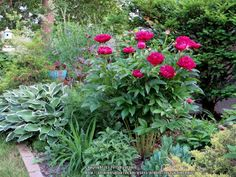 Photo of Chinese Peony (Paeonia lactiflora 'Karl Rosenfield') uploaded by foraygardengirl