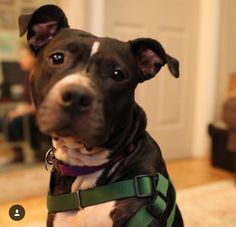 Meet COURTESY POST: Beans, an adoptable Pit Bull Terrier looking for a forever home. If you're looking for a new pet to adopt or want information on how to get involved with adoptable pets, Petfinder.com is a great resource.