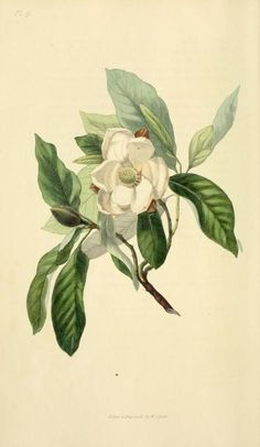 1826  -  Flora conspicua : a selection of the most ornamental flowering, hardy, exotic and indigenous trees, shrubs, and herbaceous plants, for embellishing flower-gardens and pleasure-grounds / by Richard Morris ; drawn and engraved from living specimens by William Clark.