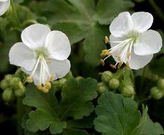 Geranium macrorrhizum 'White Ness' - Balkan-Storchschnabel