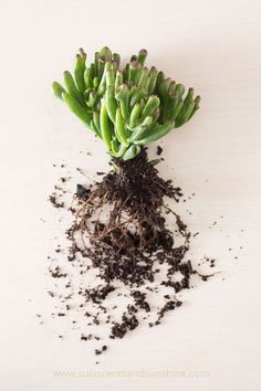 Remove as much soil as possible before potting your succulent