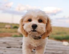 """SHIH-POO Half shih-tzu and half bichon frise."""" (aka Shichon, or Zuchon) Shih Tzu Poodle Mix, Shih Poo Puppies, Poodle Grooming, Poodle Puppies, Poodle Mix Breeds, Dog Grooming, Shih Tzu Hund, Shih Tzu Puppy, Shih Tzus"""