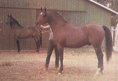 Very neat photo of Fadjur (Fadheilan x Bint Sahara) and his sire Fadheilan (*Fadl x *Kasztelanka).
