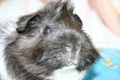 Twinkle Guinea Pig Guinea Pig Accessories, Guniea Pig, Baby Guinea Pigs, Strange Photos, Pet Stuff, Reptiles, Pets, Space, Animals