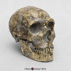 Homo neanderthalensis Skull - Sawyer/Maley Reconstruction