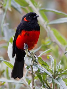 Scarlet-bellied Mountain Tanager( Anisognathus igniventris)