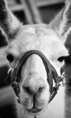 llama by abbey leis photography