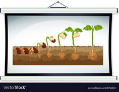 Chart showing the growing of plant Royalty Free Vector Image Free To Use Images, Free Vector Images, Vector Free, Tree Study, Experiment, Plant Vector, Plant Science, Activities For Kids, Flora