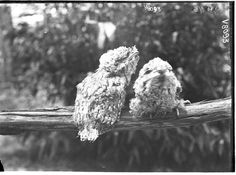 Frogmouths perched on a tree. Two Young Podargus. Photographer: HJ Burrell.
