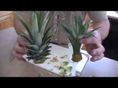how to grow a pineapple tree on your first try!!! - YouTube
