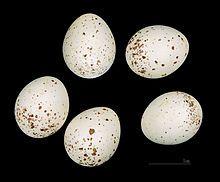 Mésange noire — Wikipédia