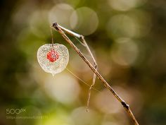 Physalis by HegedusPeter