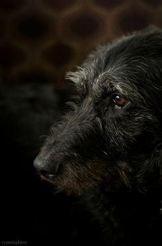 thepaintedbench: Irish Wolfhound Whatta beauty!
