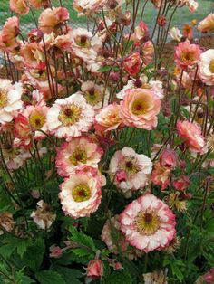 Hardy and long-blooming perennials : Geum 'Cocktails Cosmopolitan'