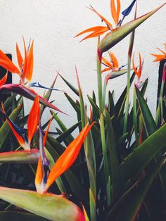 birds of paradise #houselandscaping