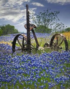 Country life... Old hay mower in a field of bluebonnets ♡