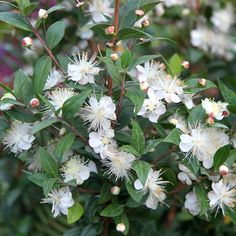 Myrtus communis. Evergreen shrub with white, fluffy flowers mid to late summer. Fragrant. Good all year round shrub