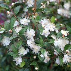 Myrtus communis. Evergreen shrub with white, fluffy flowers mid to late summer. Fragrant. Good all year round shrub