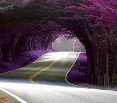 Purple Tree Tunnel