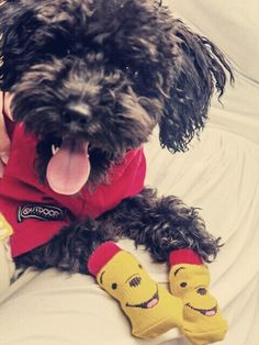 Toy poodle Kuma with winnie the pooh socks!