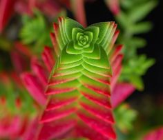 Crassula capitella #