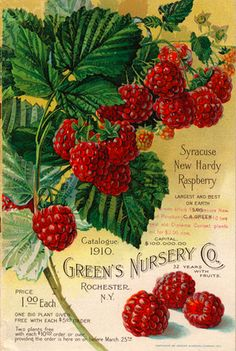 Green's Nursery Co., Rochester NY, Syracuse New Hardy Raspberry, 1910.