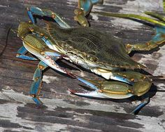 "Maryland designated the blue crab (Callinectes sapidus Rathbun) as the official state crustacean in 1989. Its scientific name translates as ""beautiful swimmer that is savory."" The name also honors Mary Jane Rathbun, the scientist who described the species in 1896. The blue crab is native to the western edge of the Atlantic Ocean from Nova Scotia to Argentina and the Chesapeake Bay is famous for its blue crabs.  http://www.statesymbolsusa.org/"