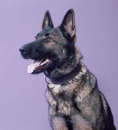 "cistro:  "" Bomb Sniffing Dog - Mark Peckmezian  """