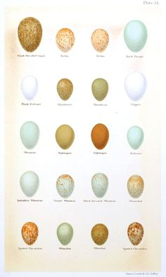 Animal - Bird - Eggs and nests - British Birds - (5)