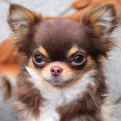 Effective Potty Training Chihuahua Consistency Is Key Ideas. Brilliant Potty Training Chihuahua Consistency Is Key Ideas. Apple Head Chihuahua, Chihuahua Puppies, Cute Puppies, Cute Dogs, Dogs And Puppies, Doggies, Long Haired Chihuahua, Little Dogs, Cute Baby Animals