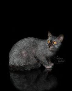 Breeding Lykoi | Lykoi Cats ~ The Original Lykoi Breeder