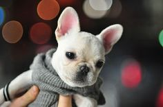 french bulldog puppy in a sweater