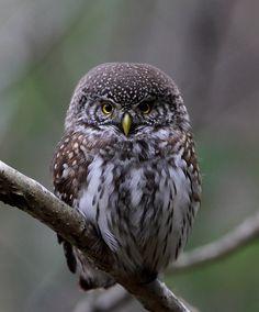 Pygmy Owl | Eurasian Pygmy Owl Owl Photos, Owl Pictures, Cute Animal Pictures, Cute Creatures, Beautiful Creatures, All Gods Creatures, Wise Animals, Nocturnal Birds, Owl Pet