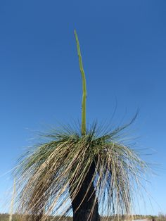 West Australian grass tree.