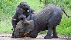 Elephants are amazing! They sometimes use their trunks as tools like we use our arms! #ElephantFunFact #elephant