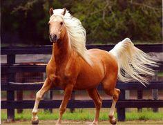 Pretty golden palomino horse