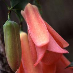 Climber Seeds - Plant World Seeds Planting Seeds, Planting Flowers, Growing Seeds, World's Most Beautiful, Exotic Plants, Flower Seeds, Climbers, Compost, Patterns