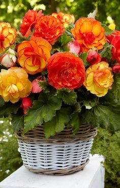 Begonia Sangria is a new and remarkable Begonia variety that will add its own excitement and mystery to your gardening experience. Beautiful Rose Flowers, Good Morning Flowers, Most Beautiful Flowers, Exotic Flowers, Red Flowers, Begonia, Red Rose Bouquet, Balcony Plants, Flower Images