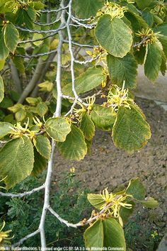 Witchazel (Hamamelis virginiana) : Prairie Nursery : Native Plants