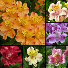 Semillas de flores de Lirio de La Mezcla semillas semillas decoración del jardín planta Lilie 20 unids AA(China (Mainland))