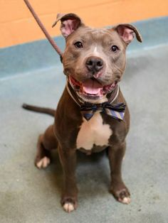 TO BE DESTROYED - 03/02/15 TO BE DESTROYED: 2/26/2015 Brooklyn Center -P ***NEW PHOTOS***  My name is SARGE. My Animal ID # is A1028331. I am a male gray and white am pit bull ter mix. The shelter thinks I am about 4 YEARS old.  I came in the shelter as a STRAY on 02/19/2015 from NY 11367, owner surrender reason stated was STRAY. https://www.facebook.com/Urgentdeathrowdogs/photos/a.611290788883804.1073741851.152876678058553/968325926513620/?type=3&theater
