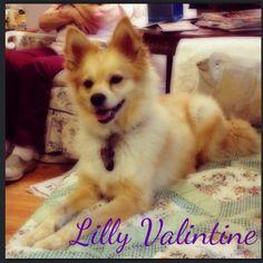 Pomeranian/golden retriever  Lilly Valintine
