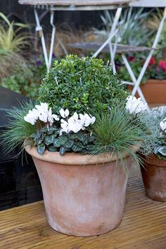 Pot for December colour: White miniature cyclamen, Festuca 'Elijah Blue' and box. Photo by Sarah Cuttle. For a different Chistmas pot using box, try http://www.gardenersworld.com/plants/pots-containers/autumn-winter/pansy-and-box-christmas-pot-display/1149.html