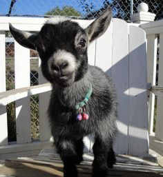 Little Miracle, one of our pygmy goats...nearly died at birth & is blind in one eye~ She is precious!!!