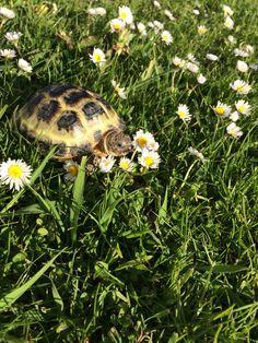 Theodore the horsefield tortoise. Horsefield Tortoise, Tortoise Vivarium, Tortoise As Pets, Tortoise Habitat, Sulcata Tortoise, Tortoise Care, Pet Turtle, Turtle Love, Tortoise Pictures