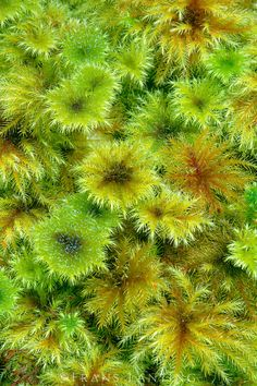 Umbrella moss colony, Hypopterygium sp., RakiuraNational Park, New Zealand