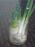 How to regrow Green Onions and Leeks. I am doing it with garlic too. Growing Vegetables In Pots, Container Gardening Vegetables, Planting Vegetables, Container Plants, Vegetable Gardening, Veggies, Green Garden, Garden Plants, Potted Plants