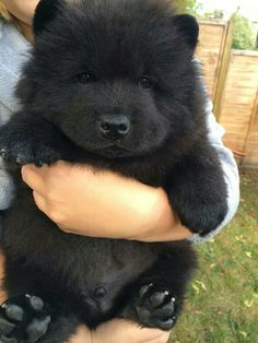 Adorable.  Looks like a Newfoundland puppy?