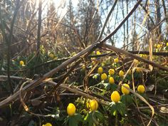 Winteraconites blooming in my gardent