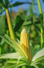 stock photo of corn field - Ear of corn in a corn field in summer before harvest. ** Note: Visible grain at 100%, best at smaller sizes - JPG